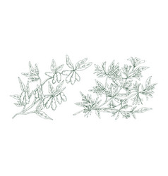 hand drawn blossom honeysuckle in monochrome vector image