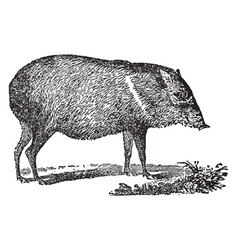 peccary vintage vector image vector image