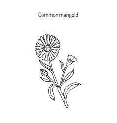 Medicinal plant calendula officinalis vector