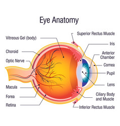 Eye anatomy info concept background cartoon style vector