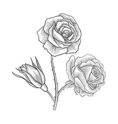 Vintage drawing flower of rose vector