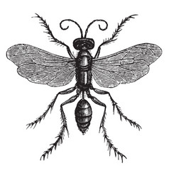 Spider huntress wasp vintage vector