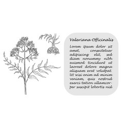 banner with black branch of valerian with roots vector image