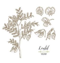 lentil plant isolated on white background lentil vector image