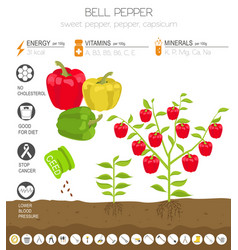 bell pepper beneficial features graphic template vector image