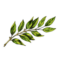 Laurel branch color sketch vector