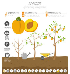 Apricot beneficial features graphic template vector
