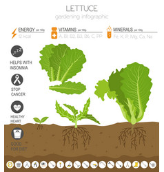 Lettuce beneficial features graphic template vector