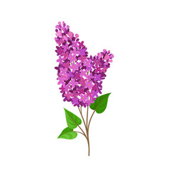 Lush branch lilac on a white vector