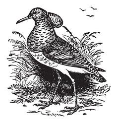 Ruff fowl vintage vector