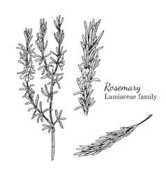 Ink rosemary hand drawn sketch vector