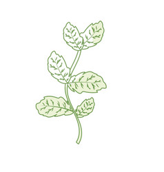 Silhouette basil plant ingredient to condiment of vector
