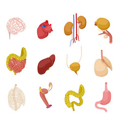 isometric human organs brain heart kidney bladder vector image