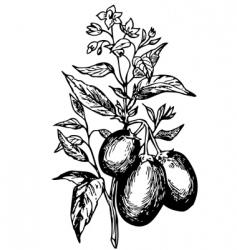 Pepino solanum muricatum vector