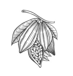 Cocoa beans freehand drawing vector
