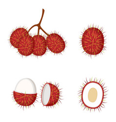Rambutan whole fruit and half vector