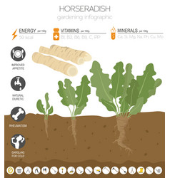 Horseradish beneficial features graphic template vector