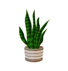 sansevieria in pot houseplant in pots green vector image