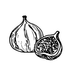ink drawing fig vector image vector image