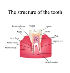The anatomical structure of the tooth on an vector