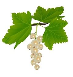 White currants vector image
