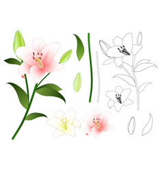 pink and white lily outline vector image vector image