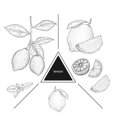 set of fruits lemons on a branch lemon flower and vector image