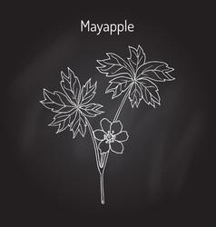 Mayapple ilex purpurea or wild mandrake ground vector