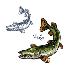 Pike fish isolated sketch icon vector