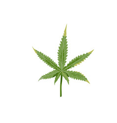 green cannabis leaf isolated on white background vector image
