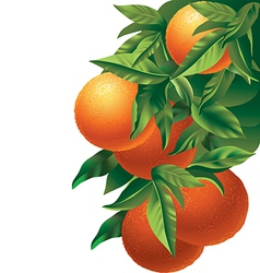 Oranges isolated vector