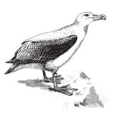 Albatross wandering snowy vector
