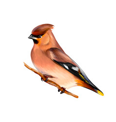 portrait a waxwing bird sitting on a branch on vector image