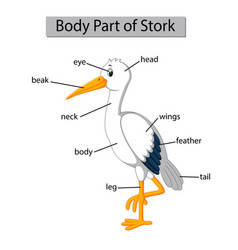 Diagram showing body part stork vector