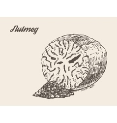 Nutmeg vintage hand drawn vector image vector image