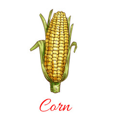 corn vegetable isolated sketch icon vector image vector image