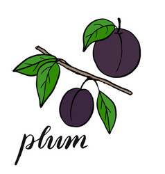 Plum on a branch with leaves drawing a plum vector
