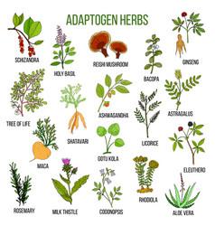 Adaptogen herbs hand drawn set of medicinal vector