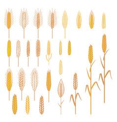 ears of cereals plants set vector image vector image