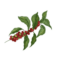 Detailed botanical drawing of coffea or coffee vector