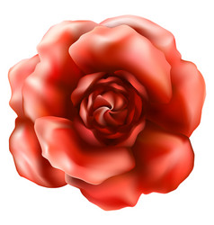 Beautiful rose flower vector