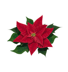 poinsettia flower of christmas holidays vector image