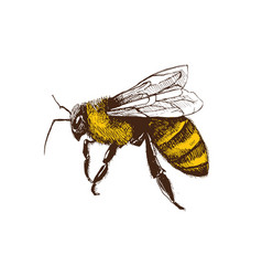 hand drawn bee vector image