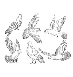 Set of pigeons hand drawn pictures vector