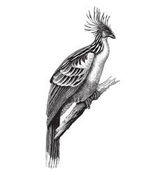 Hoatzin vintage vector