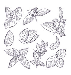 Hand drawn of mint leaves and vector