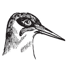 head of a green woodpecker vintage vector image