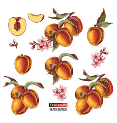 set of hand drawn peach fruits branches flowers vector image
