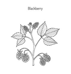 Blackberry hand drawn botanical vector