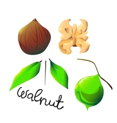 Colorful walnut vector